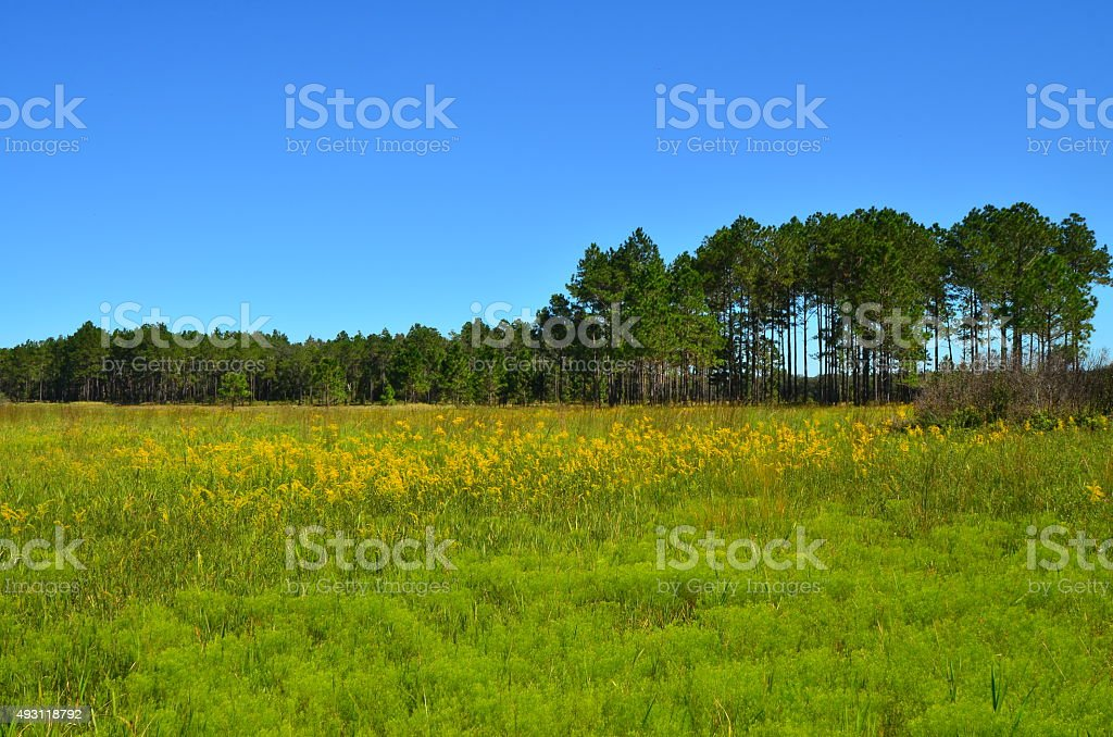 Field of yellow flowers in front of pine forest stock photo