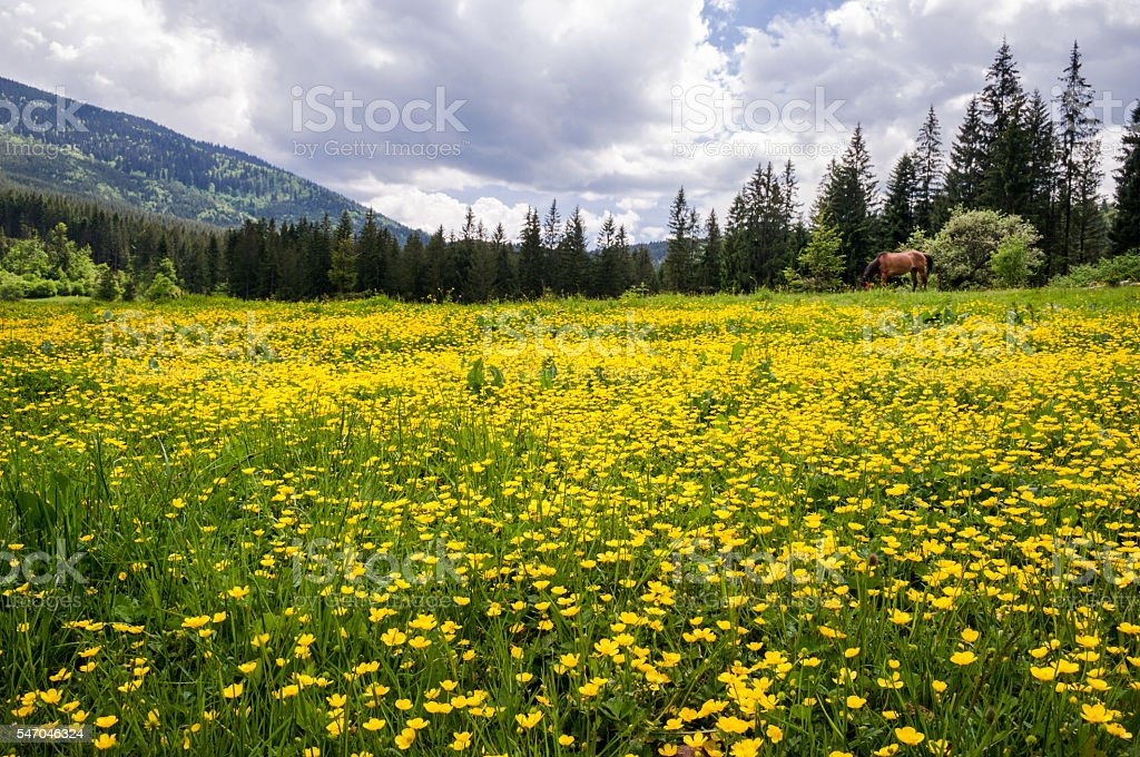 Field of yellow flowers of Caltha in the Ukrainian Carpathians stock photo