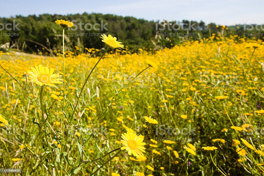 Field of yellow flowers royalty-free stock photo
