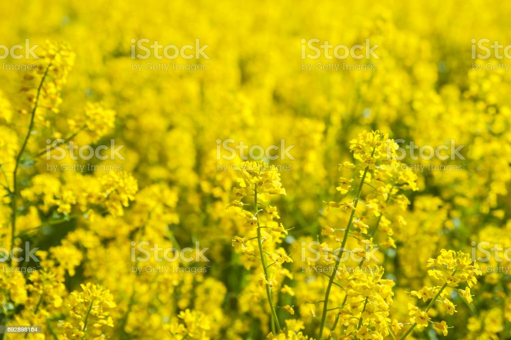 Field of yellow flowers. Summer,spring , Sunny background stock photo
