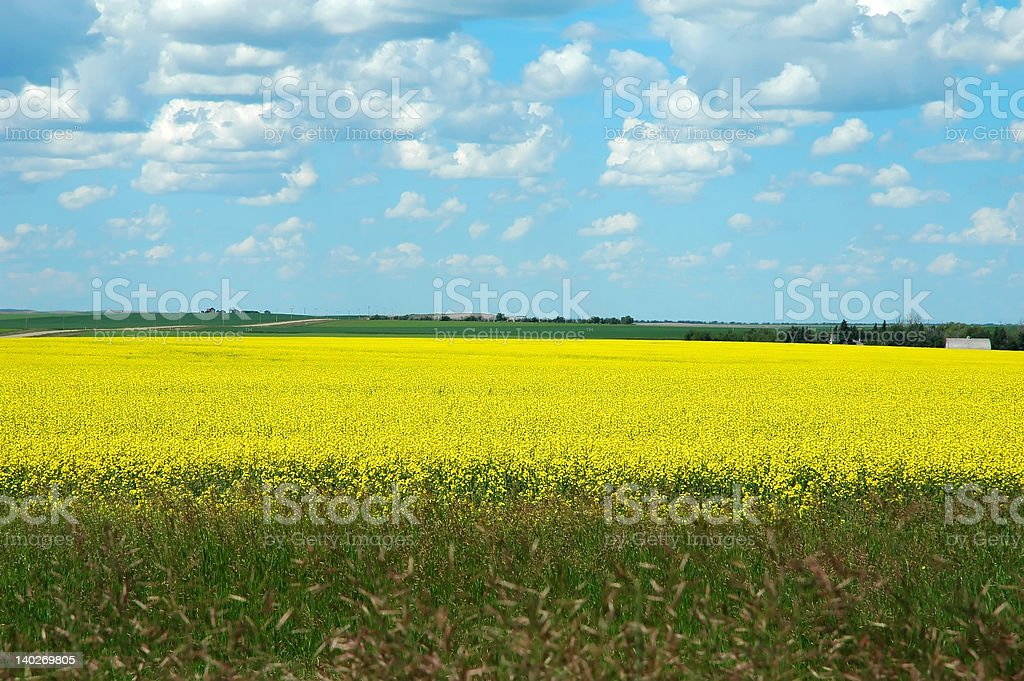 Field of Yellow royalty-free stock photo