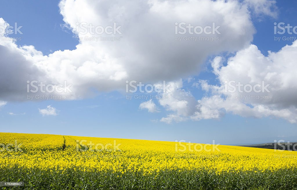 Field of yellow rape and a blue cumulus sky stock photo