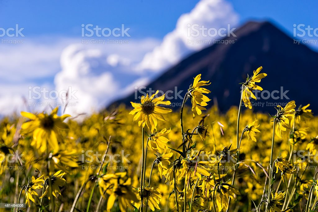 Field of Yellow Sunflowers Crested Butte stock photo
