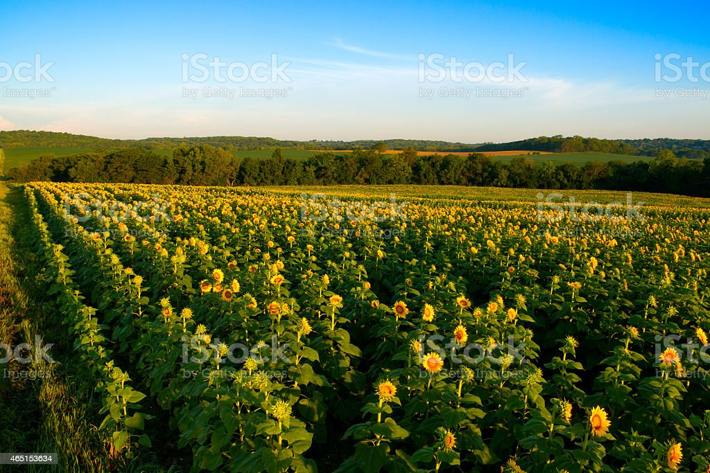 Field of Yellow Sunflowers stock photo