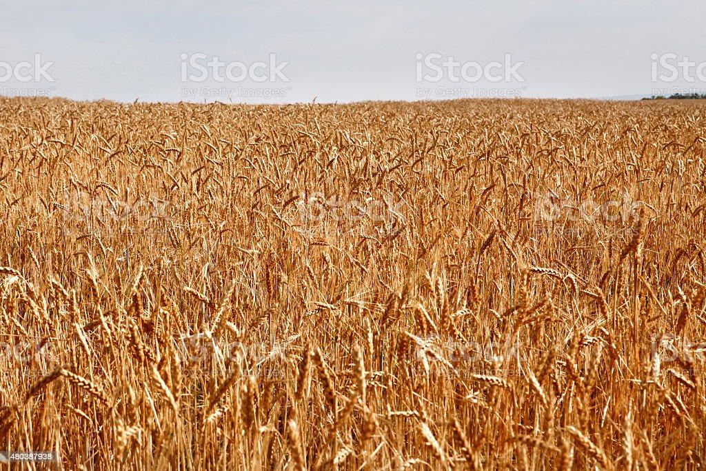 Field of yellow wheat stock photo