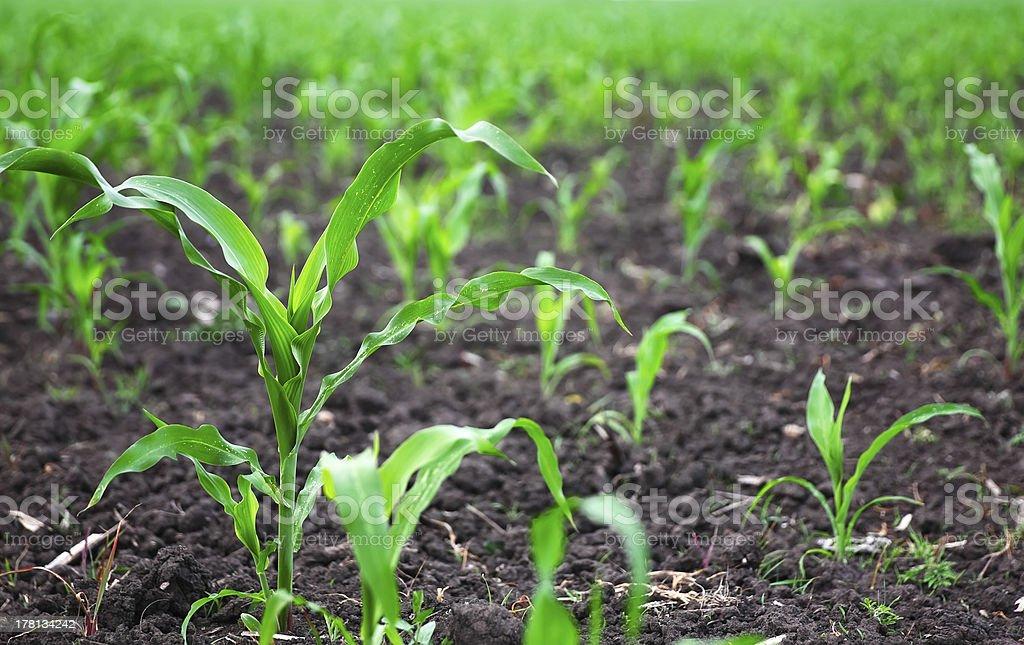 若いトウモロコシの植物 ロイヤリティフリーストックフォト