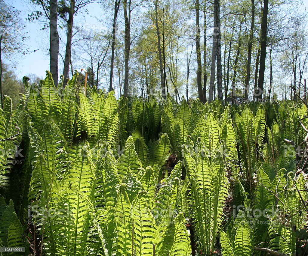 Field of young ferns in spring royalty-free stock photo