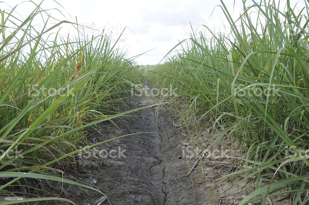 Field of Young Sugar Cane royalty-free stock photo
