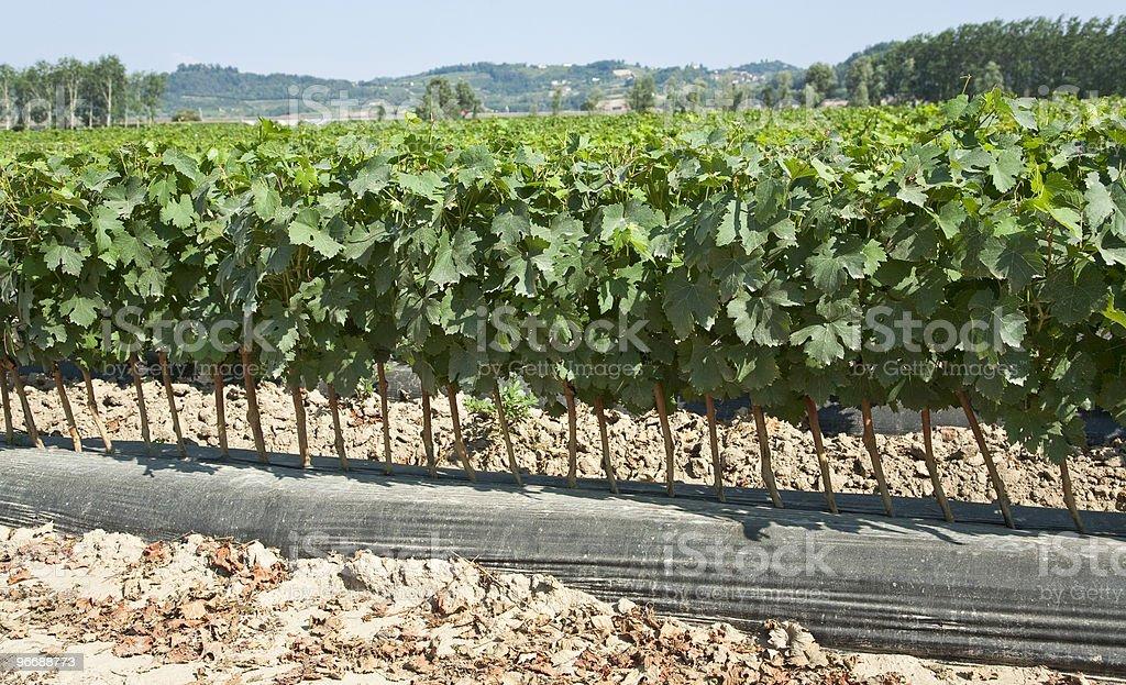Champ de jeunes vignes à transplanter des arbres photo libre de droits
