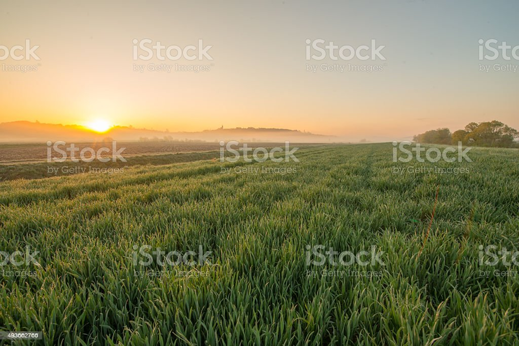 Field Of Young Wheat At Sunrise stock photo