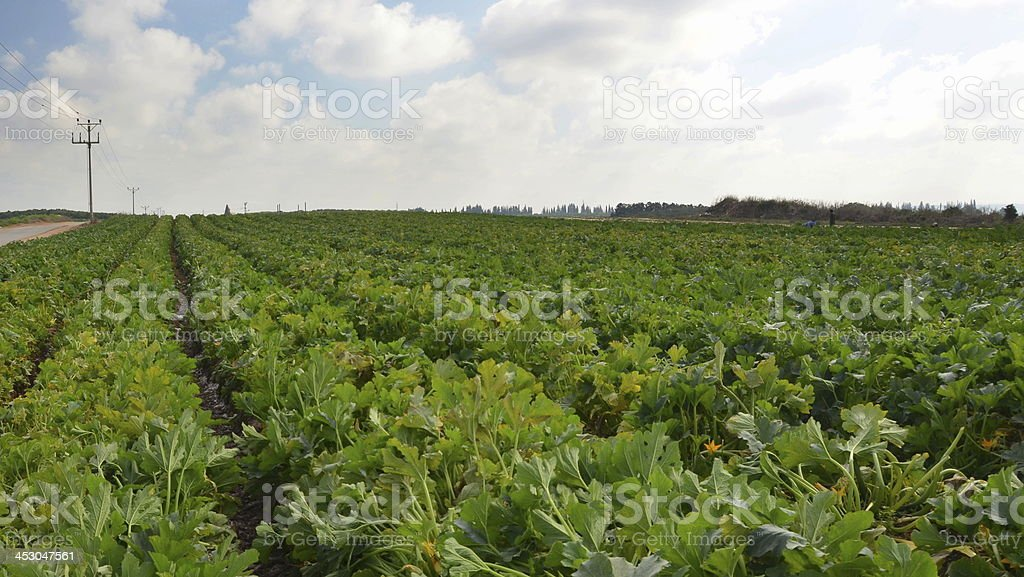 Field of young zucchini plants before the harvest royalty-free stock photo
