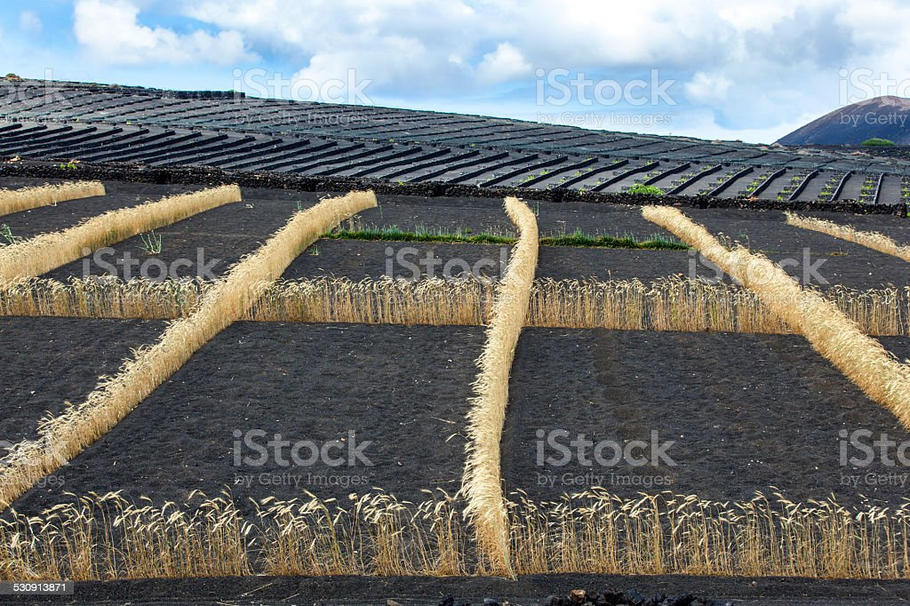 field on volcanic soil with row of corn in Lanzarote stock photo