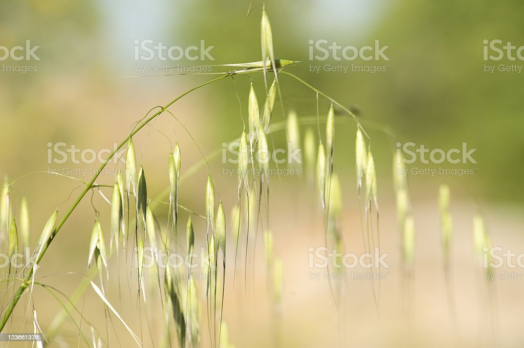 Field Plant in bloom stock photo