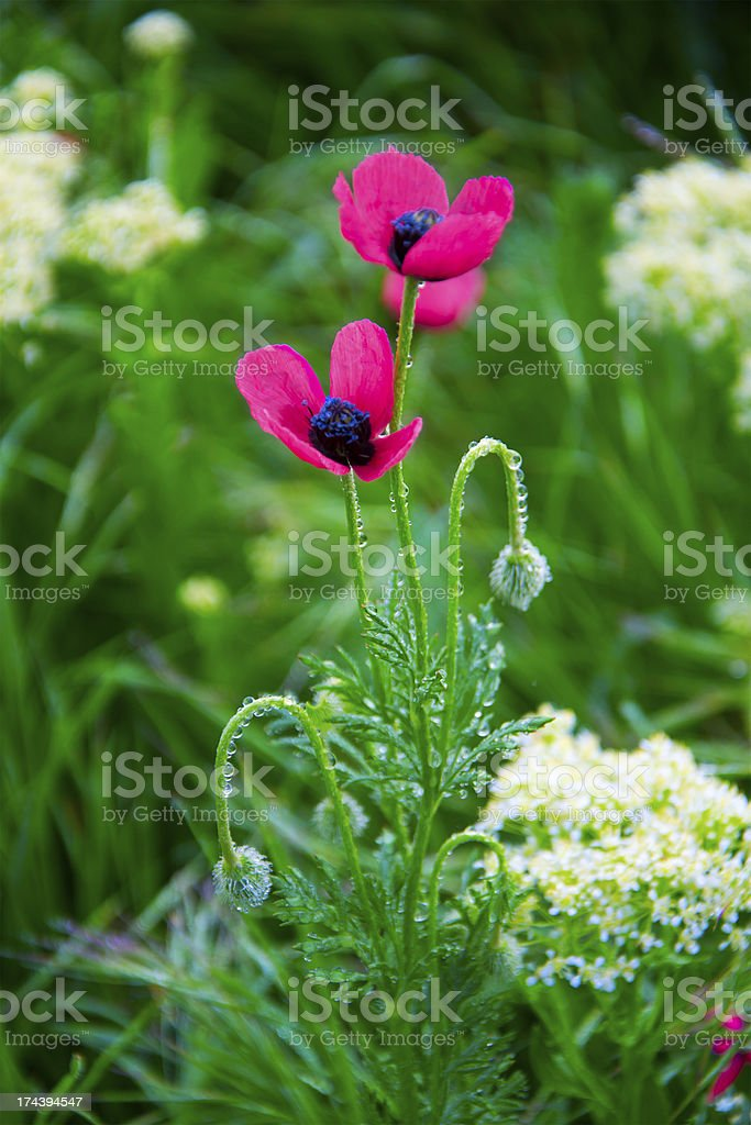 Field poppies royalty-free stock photo