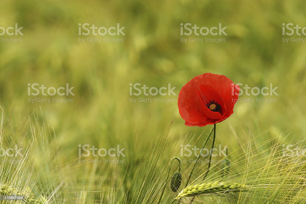 Field poppy scientifically known as Papaver rhoeas royalty-free stock photo