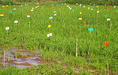 field research of jasmine rice