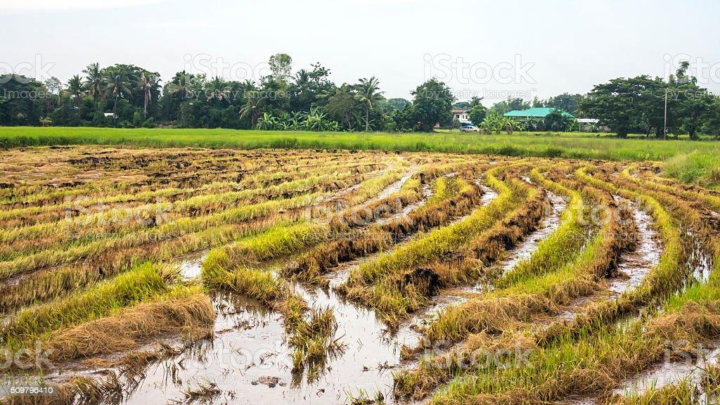 Field rice. stock photo