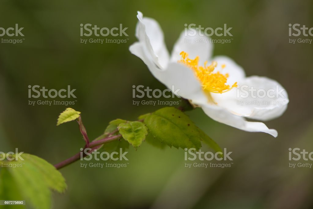Field rose (Rosa arvensis) plant in flower stock photo