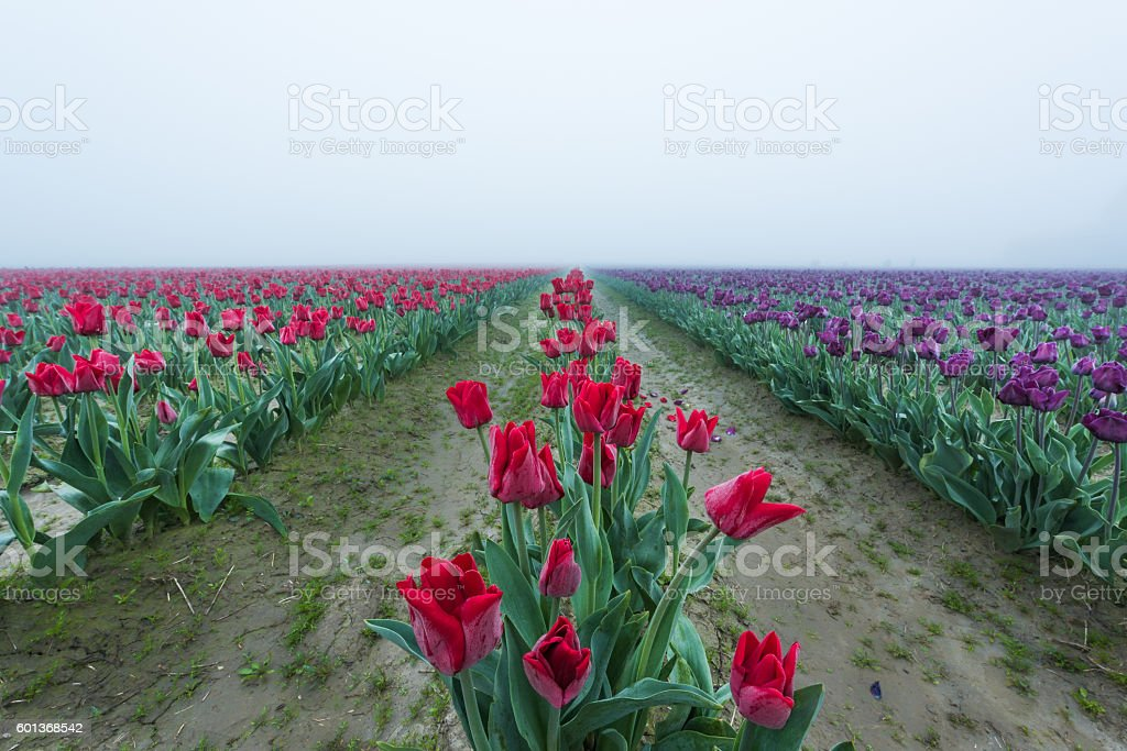 Field rows of red and purple tulips in morning fog stock photo