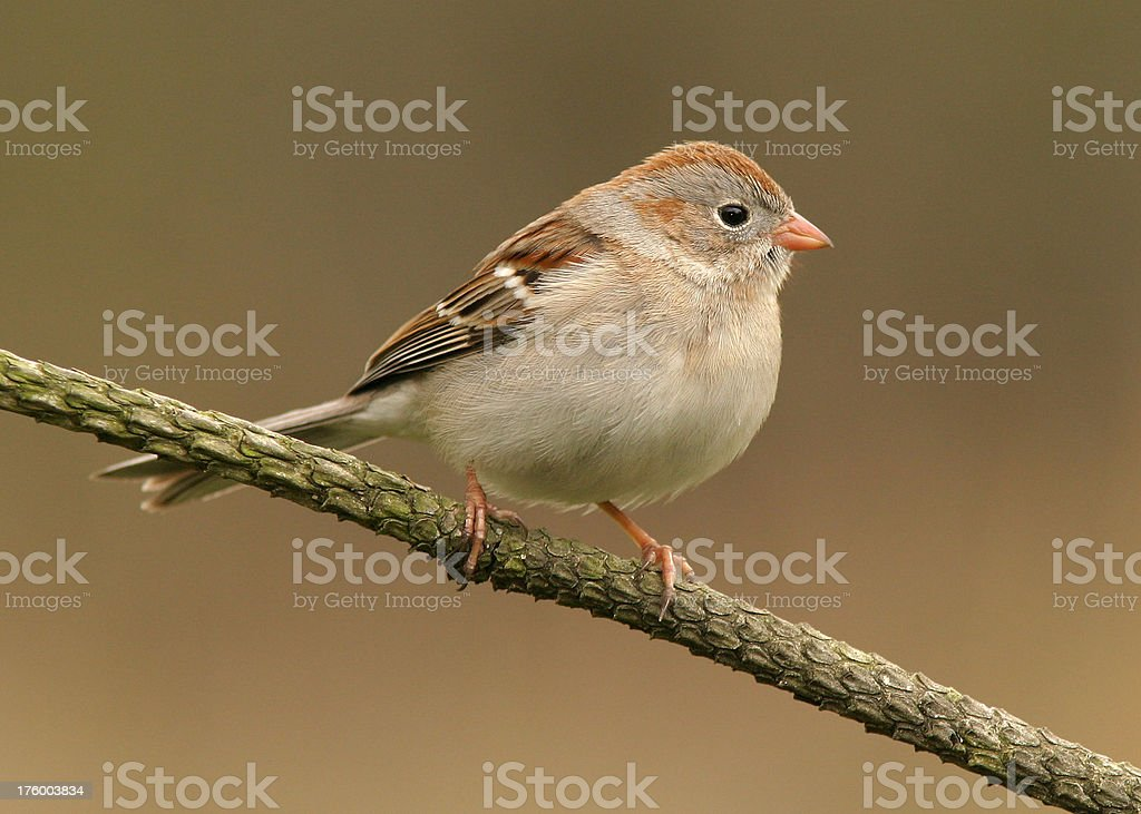 Field Sparrow royalty-free stock photo