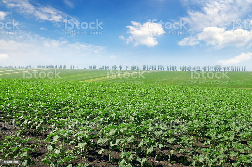 field sprouts sunflower and  sky stock photo