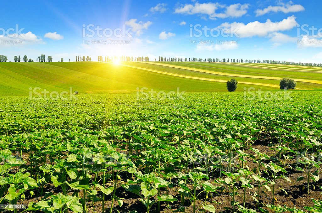 field sunflower sprouts and sunrise stock photo