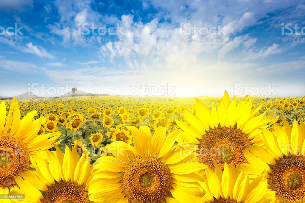 Field sunflower with flare light on the sun. stock photo