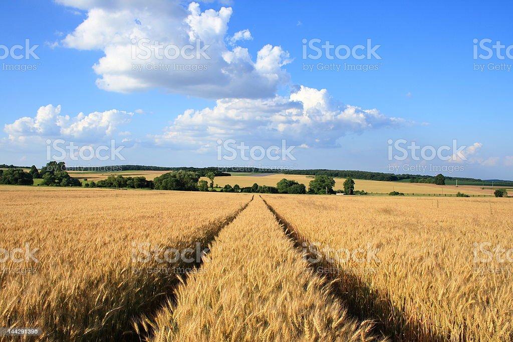 Field wheat. royalty-free stock photo