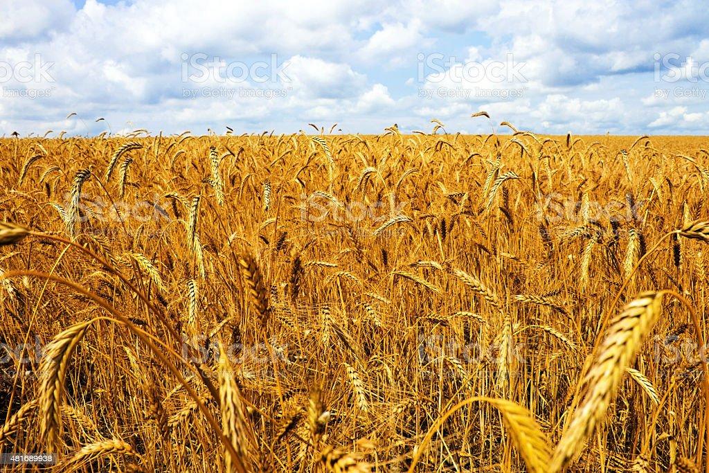 Field wheat stock photo