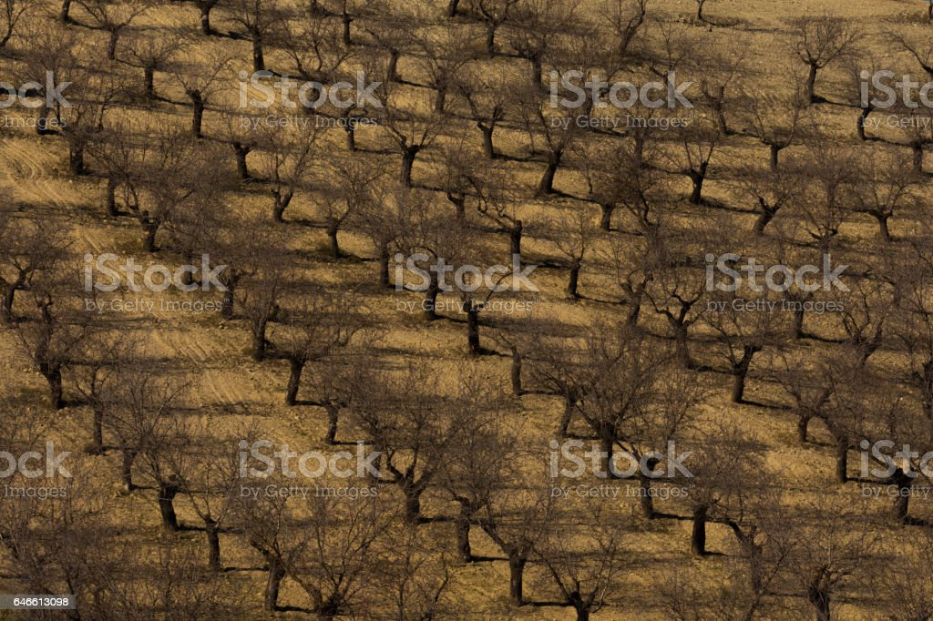 Field with almond trees stock photo