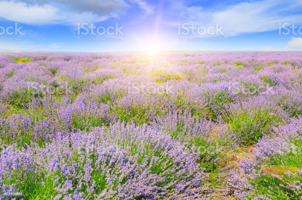Field with blooming lavender and sun rise stock photo