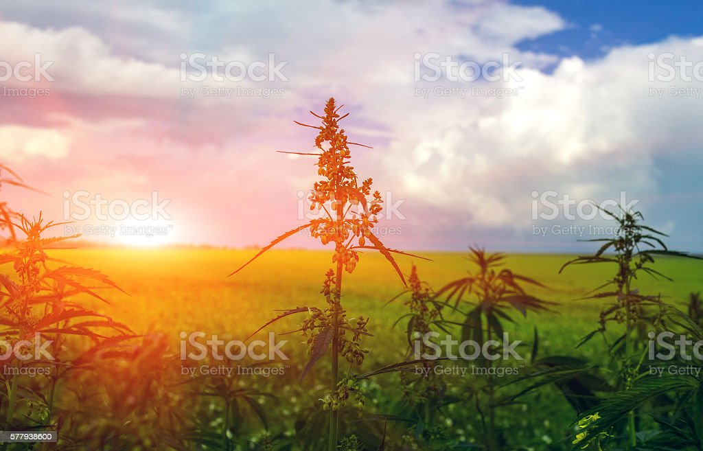 field with cannabis . marijuana bush at sunset stock photo