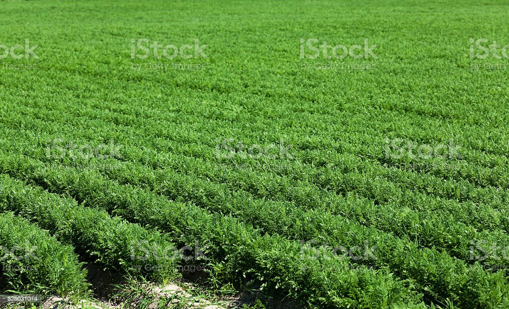 Field with carrot stock photo