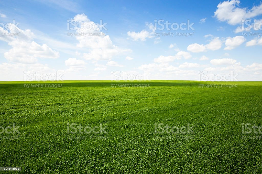 field with cereals stock photo