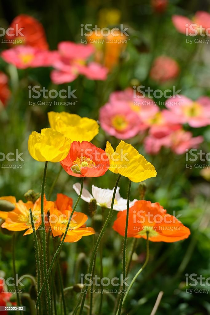 Field with colorful corn poppy flowers. stock photo