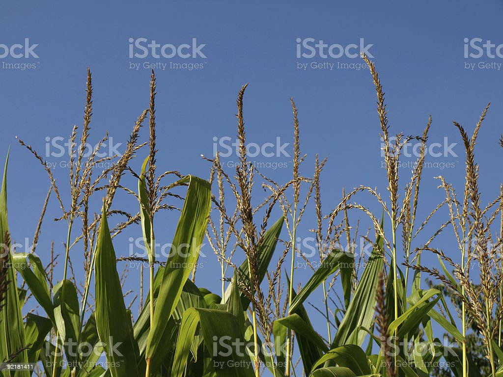 field with corn crop in front of blue sky stock photo