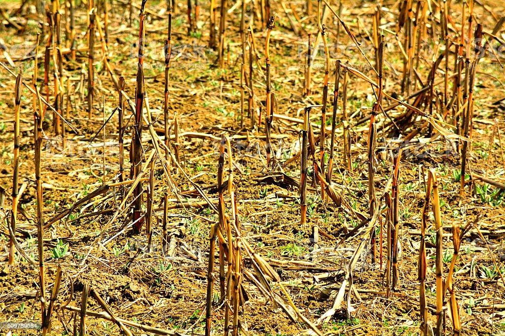 field with corn stalks stock photo