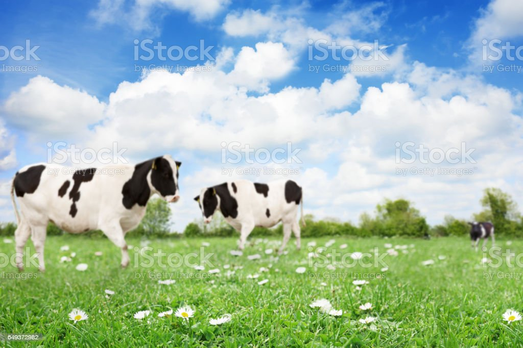 Field with cows and copyspace focus on foreground stock photo