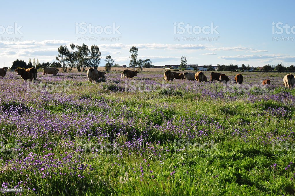 Field with cows stock photo