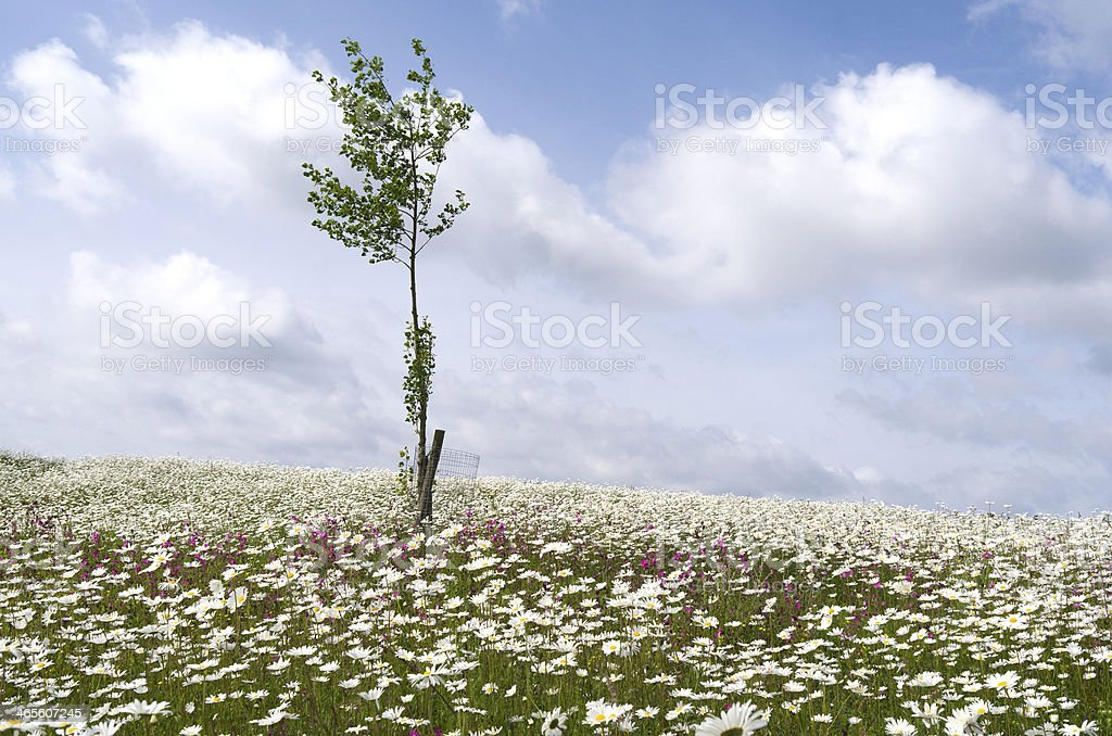 フィールドに daisies と lychnis ます。 ロイヤリティフリーストックフォト
