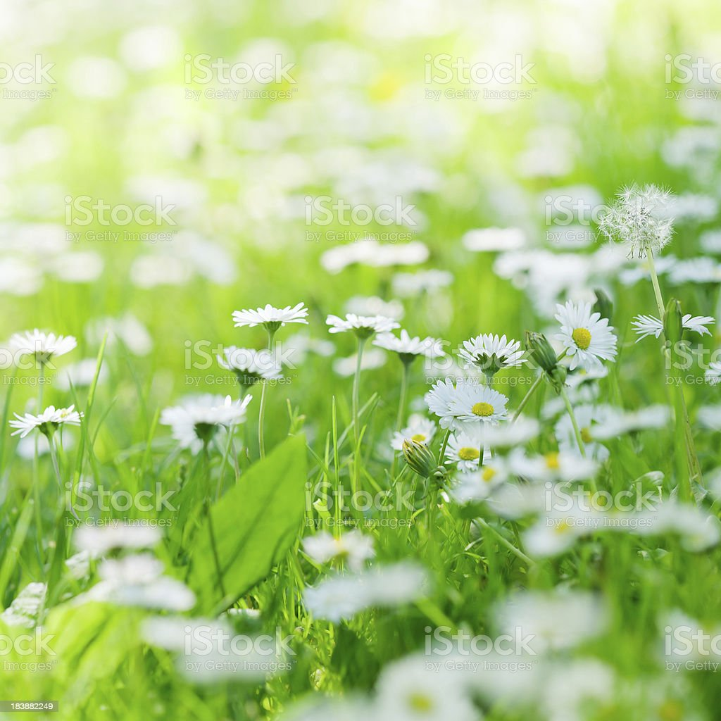 Field with daisies royalty-free stock photo
