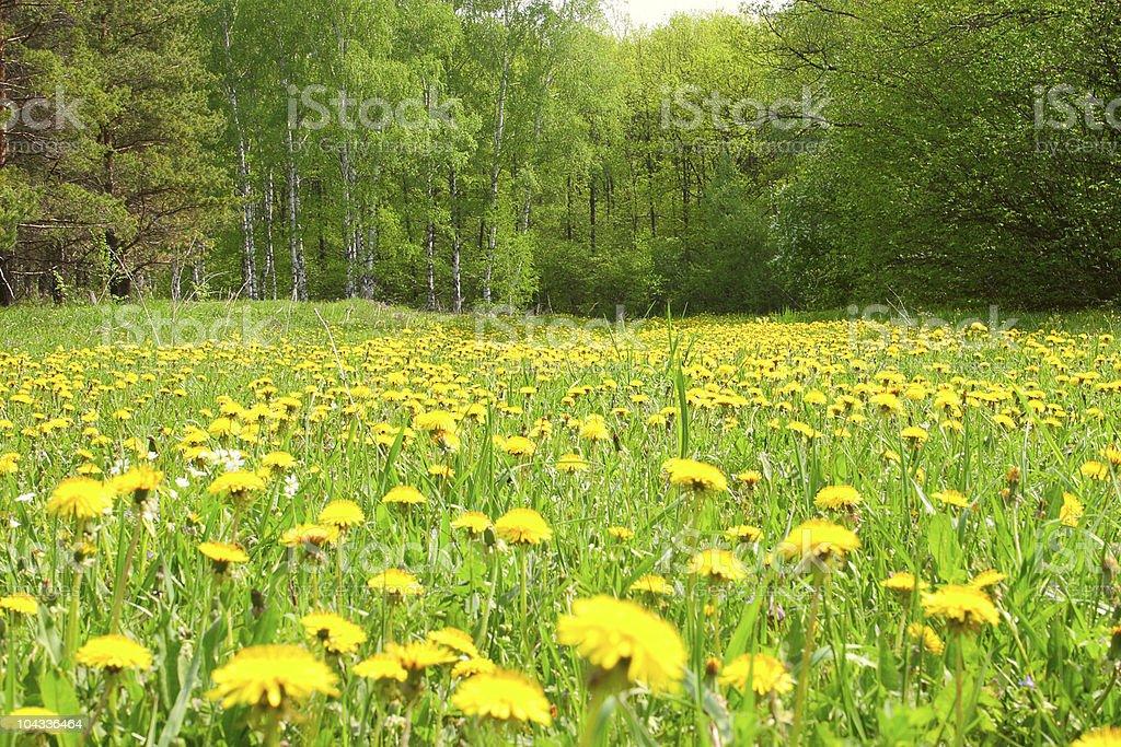 Pole z dandelions w drewnie zbiór zdjęć royalty-free