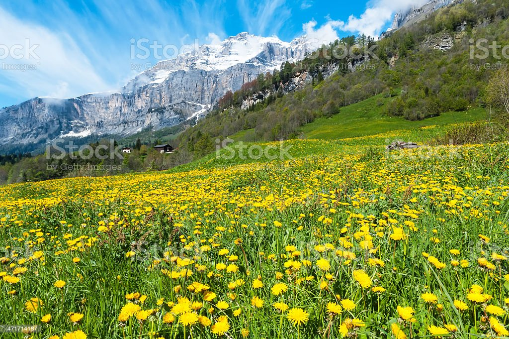 Field with dandelions royalty-free stock photo