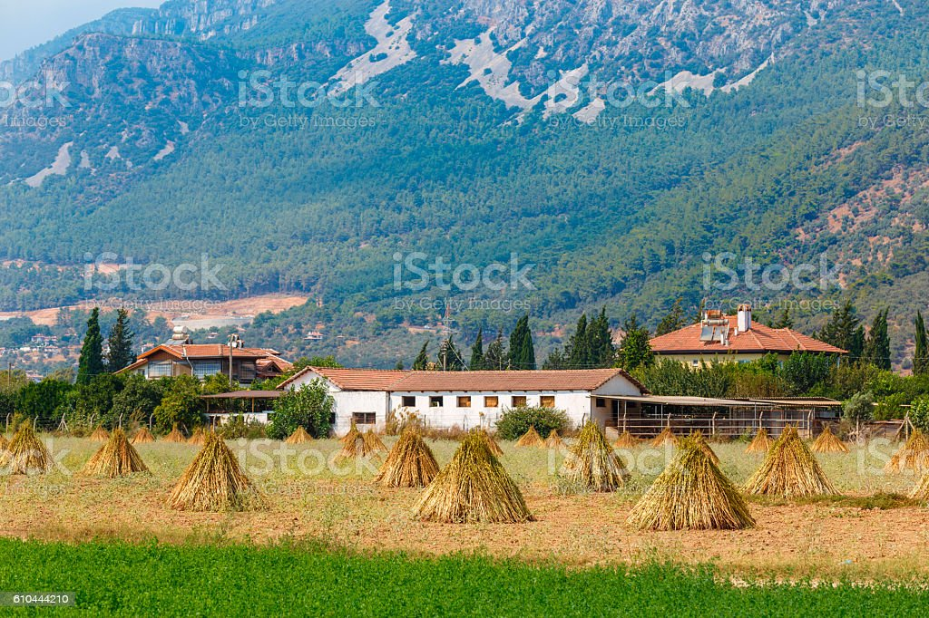 Field with drying sesame stock photo