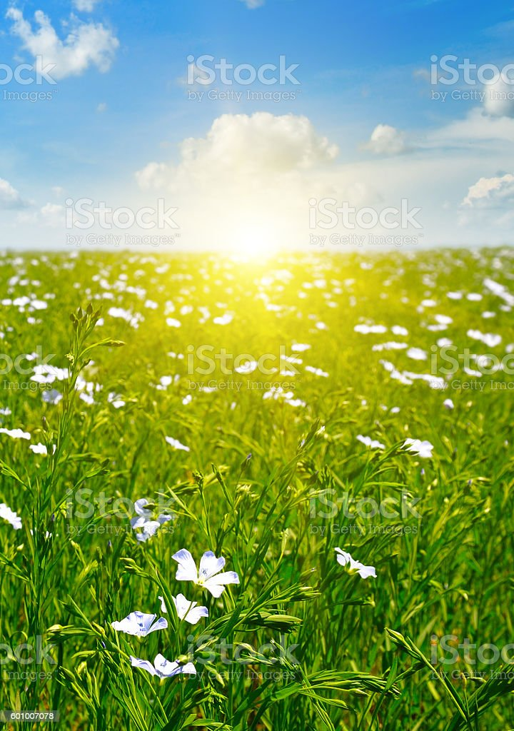 field with flowering flax and blue sky stock photo