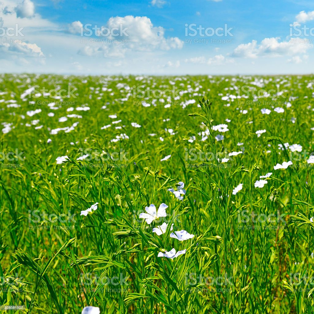 field with flowering flax and  sky stock photo