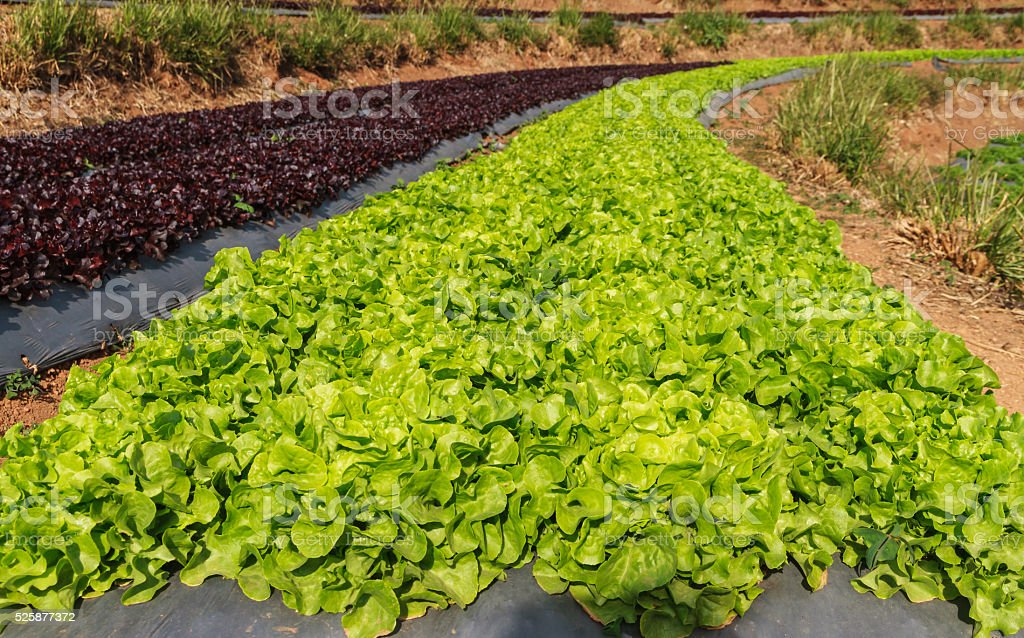 Field with green and red lettuce stock photo