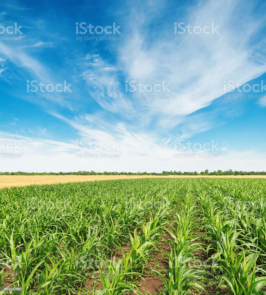 field with green maize and white clouds in blue sky stock photo