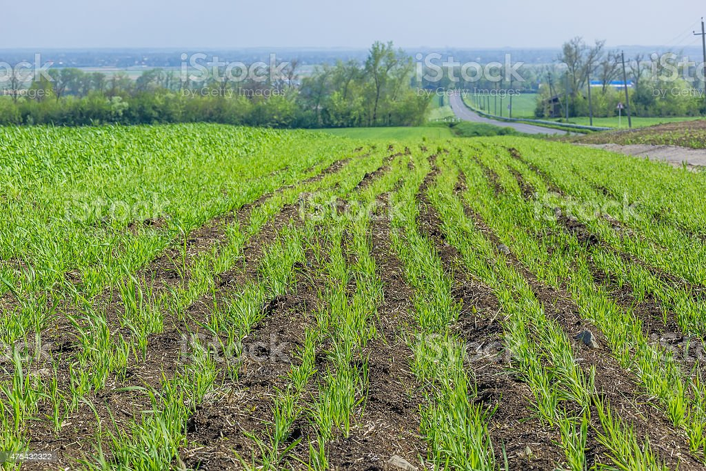 Field with green shoots of spring wheat stock photo