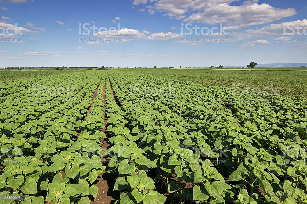 Field with green sunflowers. Sunflower spring edition. stock photo